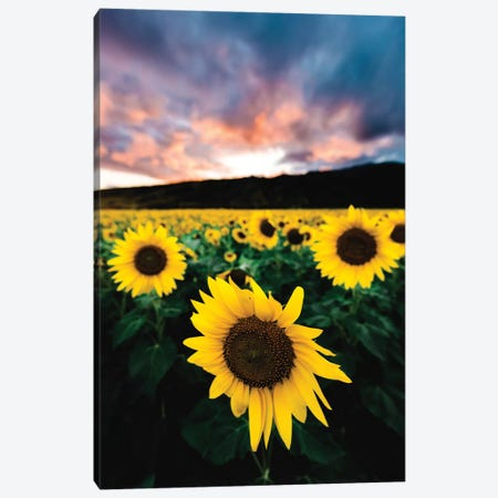 Sunflower Sunset Canvas Print #LCS92} by Lucas Moore Canvas Art