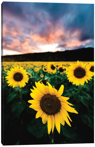 Sunflower Sunset Canvas Art Print