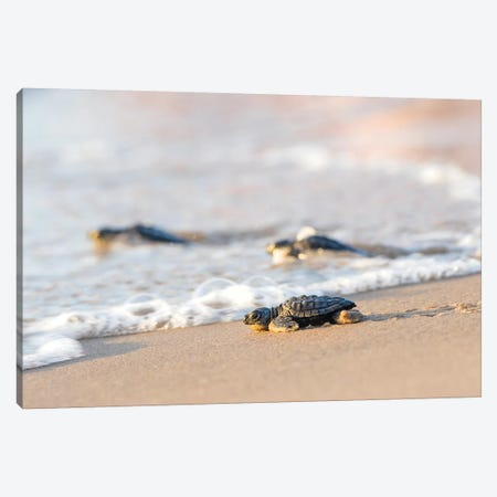 Kemp's Ridley Sea Turtle hatchling I Canvas Print #LDI10} by Larry Ditto Canvas Art Print