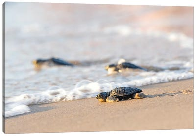 Kemp's Ridley Sea Turtle hatchling I Canvas Art Print