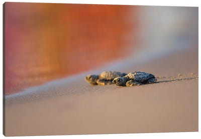 Kemp's Ridley Sea Turtle hatchling II Canvas Art Print
