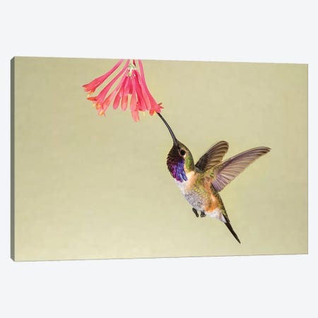 Lucifer Hummingbird, Calothorax Lucifer, feeding Canvas Print #LDI12} by Larry Ditto Canvas Print
