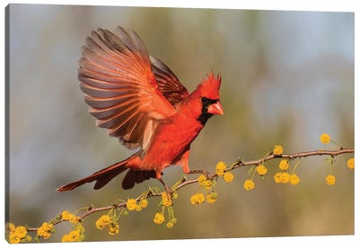 Northern Cardinal male landing on huisache branch Canvas Art Print