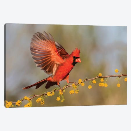 Northern Cardinal male landing on huisache branch Canvas Print #LDI13} by Larry Ditto Art Print