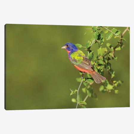 Painted Bunting, Passerina ciris, male perched in bush Canvas Print #LDI14} by Larry Ditto Canvas Art