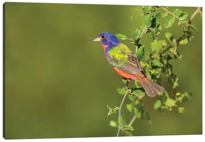 Painted Bunting, Passerina ciris, male perched in bush Canvas Art Print