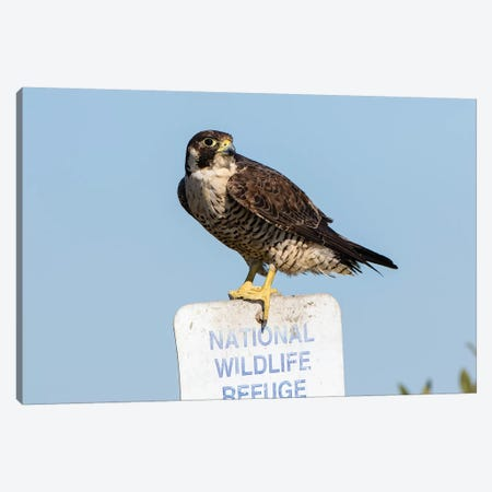 Peregrine Falcon, Falcon peregrinus, perched Canvas Print #LDI15} by Larry Ditto Canvas Art