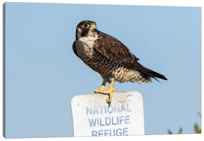 Peregrine Falcon, Falcon peregrinus, perched Canvas Art Print