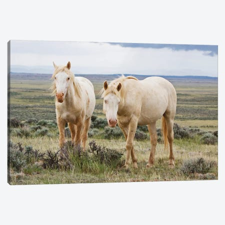 Wild Palomino Horses Roaming The Prairie, Cody, Park County, Wyoming, USA Canvas Print #LDI1} by Larry Ditto Canvas Artwork