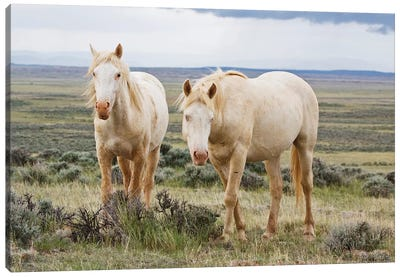 Wild Palomino Horses Roaming The Prairie, Cody, Park County, Wyoming, USA Canvas Art Print