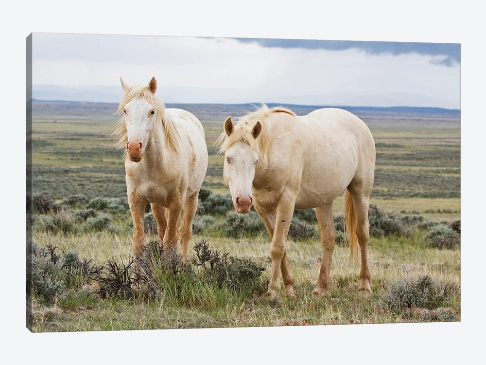 Wild Palomino Horses Roaming The Prairie, Cody, Park County, Wyoming, USA by Larry Ditto 1-piece Art Print
