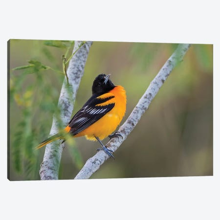 Baltimore Oriole (Icterus galbula) adult perched Canvas Print #LDI20} by Larry Ditto Canvas Artwork