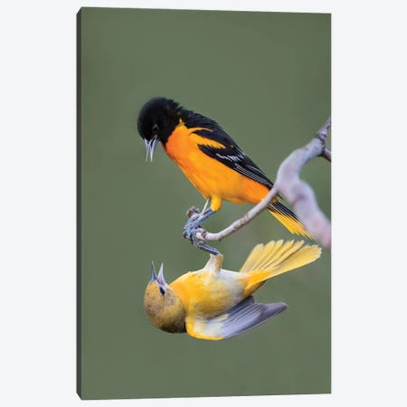 Baltimore Orioles (Icterus galbula) adults fighting Canvas Print #LDI21} by Larry Ditto Canvas Art