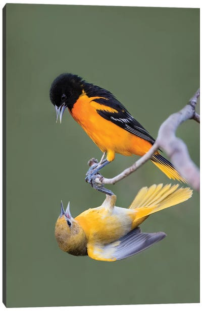 Baltimore Orioles (Icterus galbula) adults fighting Canvas Art Print