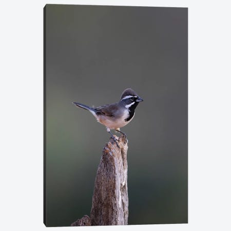 Black-throated Sparrow (Amphispiza bilineata) adult perched Canvas Print #LDI22} by Larry Ditto Canvas Wall Art