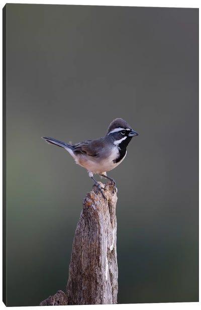 Black-throated Sparrow (Amphispiza bilineata) adult perched Canvas Art Print