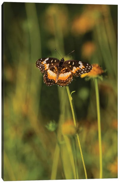 Bordered Patch (Chlosyne lacinia) butterfly perched on flower. Canvas Art Print