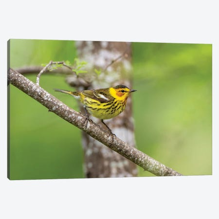 Cape May warbler (Dendroica tigrina) male foraging. Canvas Print #LDI25} by Larry Ditto Canvas Print