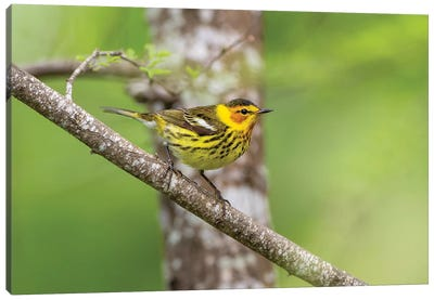 Cape May warbler (Dendroica tigrina) male foraging. Canvas Art Print
