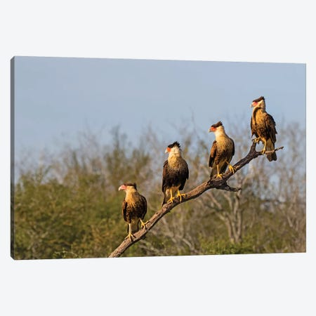 Crested caracara (Caracara cheriway). Canvas Print #LDI27} by Larry Ditto Art Print