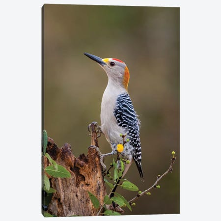Golden-fronted woodpecker (Melanerpes aurifrons) foraging. Canvas Print #LDI28} by Larry Ditto Canvas Wall Art