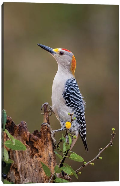 Golden-fronted woodpecker (Melanerpes aurifrons) foraging. Canvas Art Print