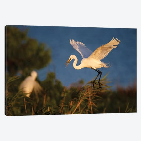Great Egret (Ardea alba) Canvas Print #LDI29} by Larry Ditto Canvas Artwork