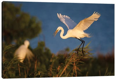 Great Egret (Ardea alba) Canvas Art Print