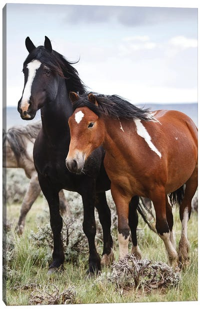 Wild Horses Roaming The Prairie, Cody, Park County, Wyoming, USA Canvas Art Print