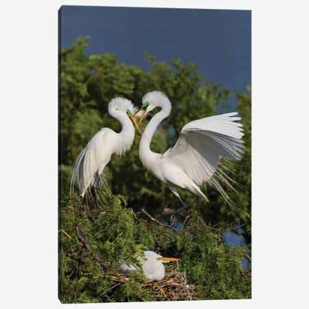 Great Egret landing at nest Canvas Print #LDI30} by Larry Ditto Canvas Art Print