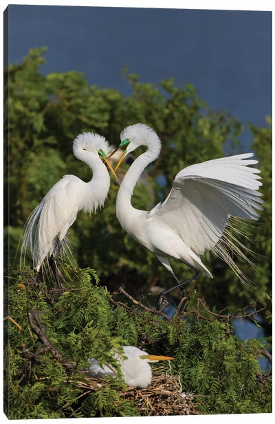 Great Egret landing at nest Canvas Art Print