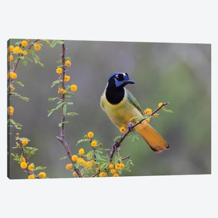 Green jay (Cyanocorax yncas) perched. Canvas Print #LDI31} by Larry Ditto Canvas Print