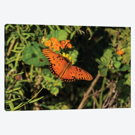 Gulf Fritillary (Agraulis vanillae) butterfly on Lantana flowers. Canvas Print #LDI33} by Larry Ditto Art Print