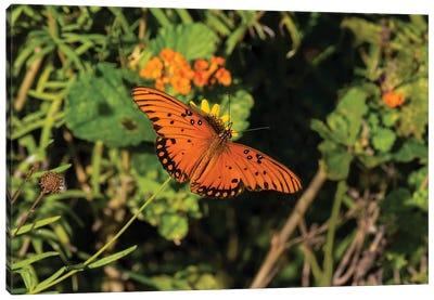 Gulf Fritillary (Agraulis vanillae) butterfly on Lantana flowers. Canvas Art Print