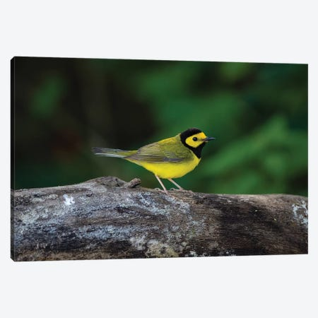 Hooded Warbler (Wilsonia citrina) on limb Canvas Print #LDI34} by Larry Ditto Canvas Art