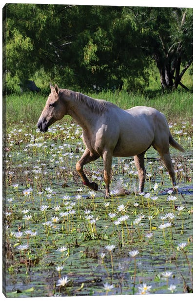 Horse wading in shallow pond. Canvas Art Print