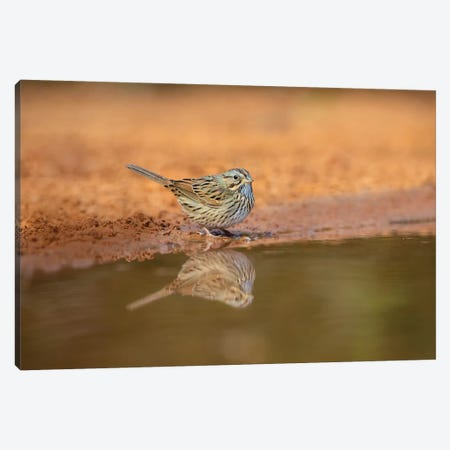 Lincoln's sparrow (Melospiza lincolnii) drinking. Canvas Print #LDI36} by Larry Ditto Canvas Wall Art