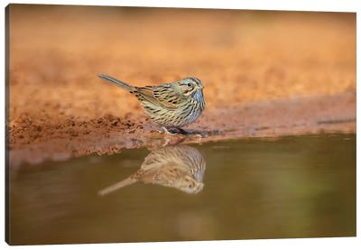 Lincoln's sparrow (Melospiza lincolnii) drinking. Canvas Art Print
