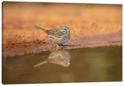 Lincoln's sparrow (Melospiza lincolnii) drinking. Canvas Art Print