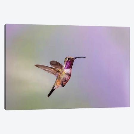 Lucifer hummingbird (Calothorax lucifer) male hovering. Canvas Print #LDI37} by Larry Ditto Canvas Art