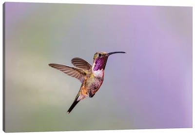 Lucifer hummingbird (Calothorax lucifer) male hovering. Canvas Art Print