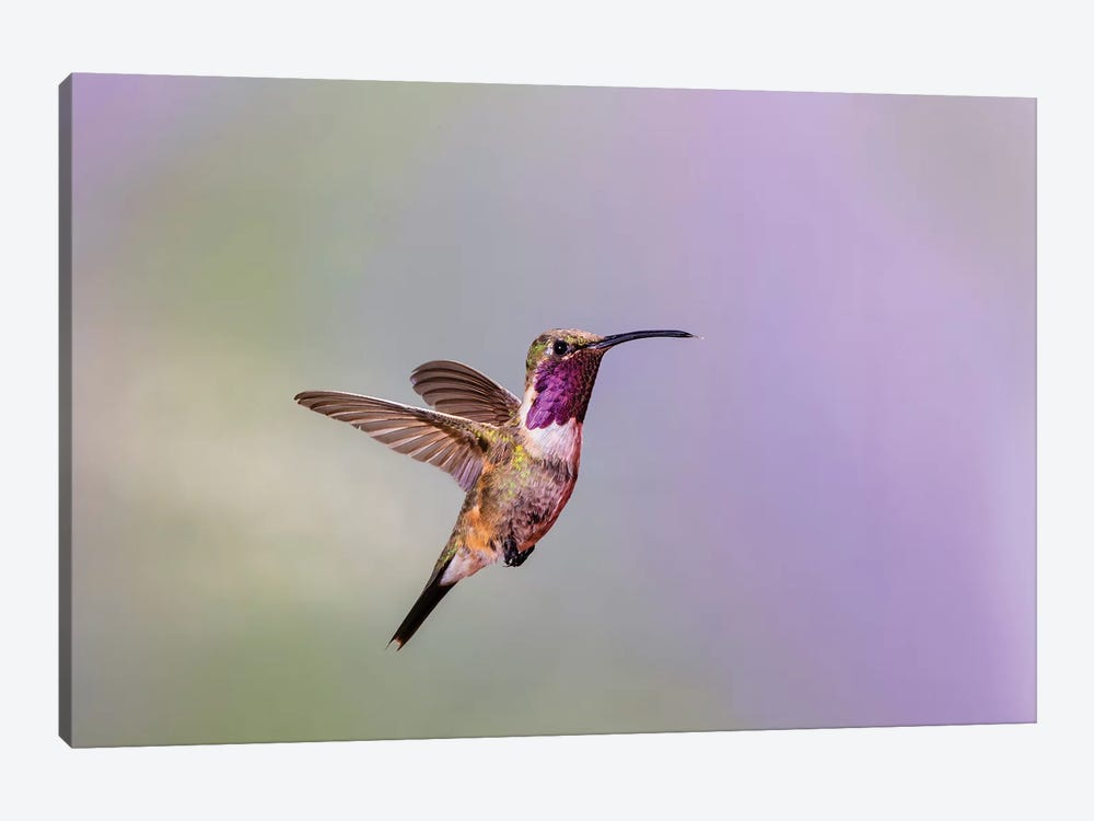 Lucifer hummingbird (Calothorax lucifer) male hovering. by Larry Ditto 1-piece Canvas Art