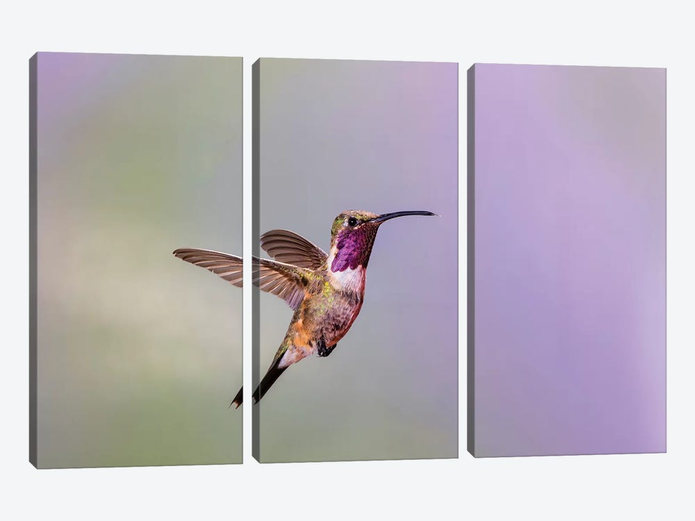 Lucifer hummingbird (Calothorax lucifer) male hovering. by Larry Ditto 3-piece Canvas Wall Art