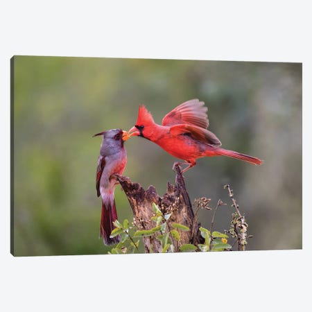 Northern cardinal and Pyrrhuloxia males fighting for a perch. Canvas Print #LDI38} by Larry Ditto Art Print