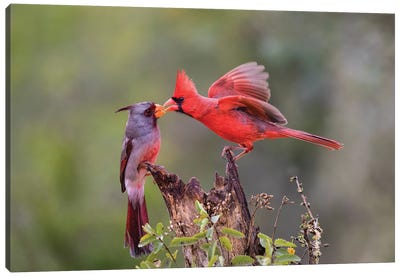 Northern cardinal and Pyrrhuloxia males fighting for a perch. Canvas Art Print