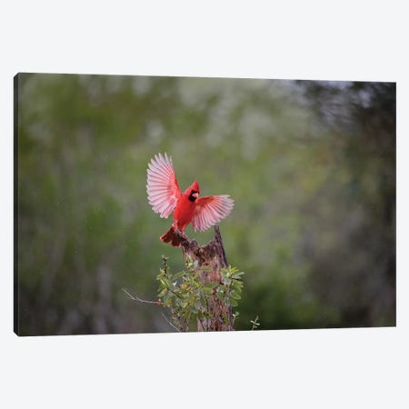 Northern cardinal landing. Canvas Print #LDI39} by Larry Ditto Canvas Print