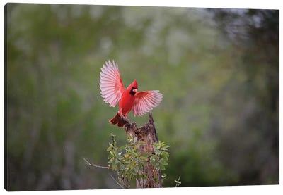 Northern cardinal landing. Canvas Art Print