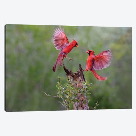 Northern cardinal males fighting. Canvas Print #LDI40} by Larry Ditto Canvas Artwork