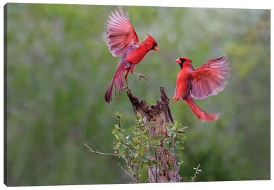 Northern cardinal males fighting. Canvas Art Print