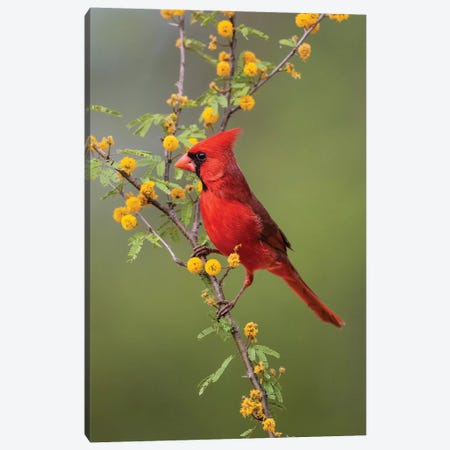 Northern cardinal perched. Canvas Print #LDI41} by Larry Ditto Canvas Art